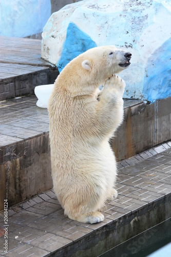 Foto op Canvas Ijsbeer Polar bear water
