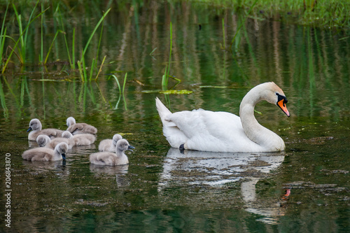 Papiers peints Cygne Family of swans with chicks at lake in evening, Germany