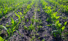 Maize Crop: Rows Of Young Maize Plants On A Field, Some Weeds Growing Between The Rows