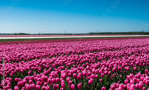 Pink tulips in field