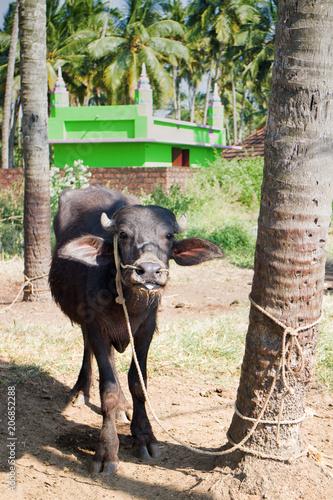 Fotografie, Obraz  Young Buffalo tied to palm tree