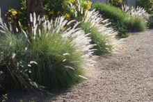 Clump Of Fountain Grass  (Penn...