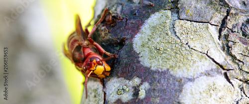 Foto op Plexiglas Macrofotografie Big wasp macro .