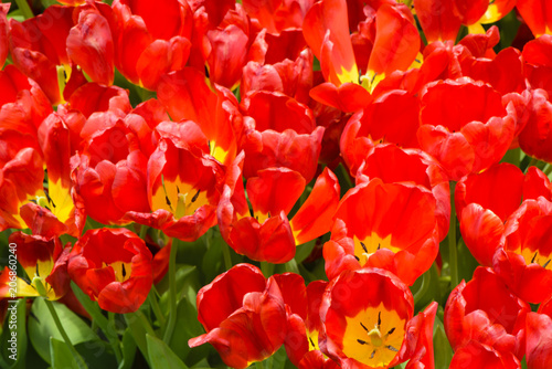 Staande foto Roses Group of red tulips in the park