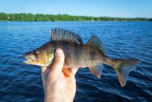Summer Perch - Lake Fishing Tr...