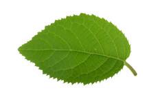 Fresh Green Leaf Of Kiwi Isola...