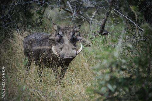 Photo  Phacochère dans une réserve en Afrique du Sud