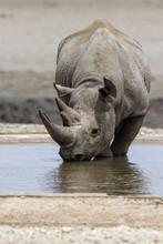 Black Rhino Drinking At A Wate...