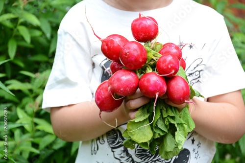 Bunch of radish isolated. Fresh and organic radish