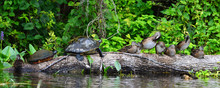 Turtle And Wood Ducks, Silver ...
