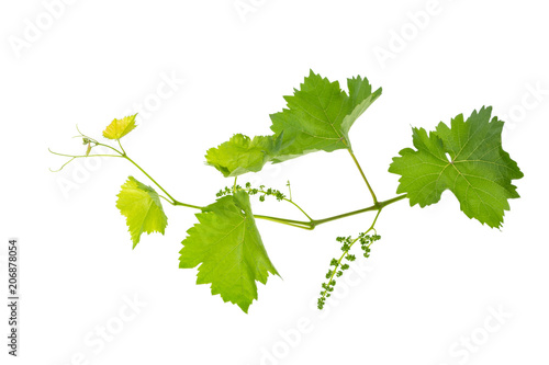 vine branch of a vine isolated on a white background Canvas-taulu