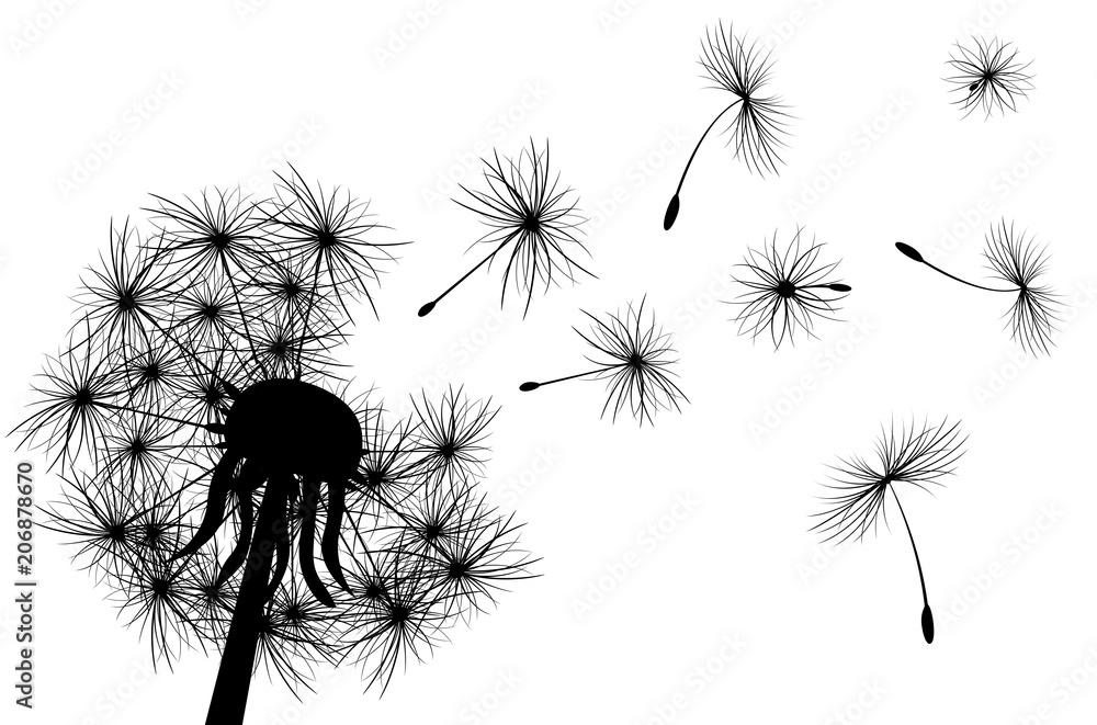 Dandelion, plant. Dandelion, flowering  plant. Silhouette of dandelion on white background