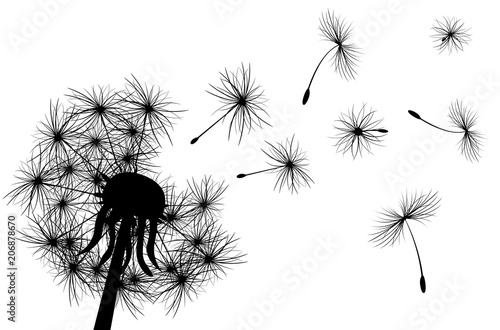 Dandelion, plant. Dandelion, flowering  plant. Silhouette of dandelion on white background
