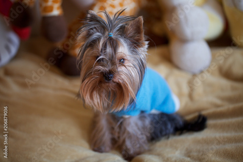 Fotografie, Obraz  Yorkshire Terrier