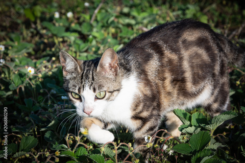 Beautiful striped cat hunt for mice in the grass Poster