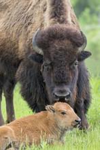 Female American Bison (Bison B...