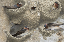 A Colony Of American Cliff Swallows (Petrochelidon Pyrrhonota) Building Nests, Iowa, USA