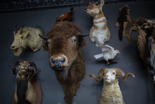 Mounted Taxidermy Heads With Antelope, Buffalo, Rams