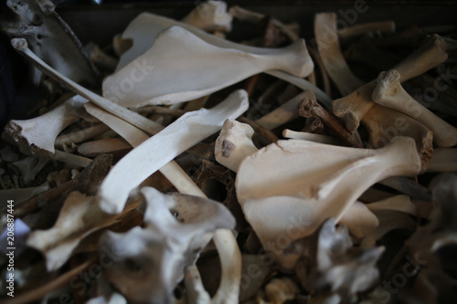 Valokuva  Cleaned Animal Bones Morbid Oddities Background