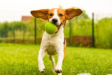 Dog Beagle Having Fun Running ...