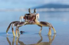 Stalk Eyed Ghost Crab Fighting
