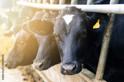 Tuinposter Koe Black and white dairy cows in a barn