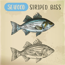 Sketch Of Striper Fish Or Atlantic Striped Bass