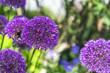 canvas print picture - Allium, Zierlauch mit Hummel, Landschaft im Frühling