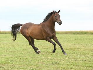 Amazing brown horse running alone