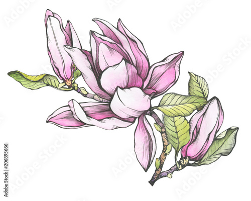 Branch Of Pink Magnolia Liliiflora Also Called Mulan Magnolia With