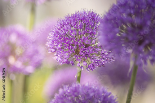 Poster Prune Allium, lila, Dekoration