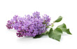 Branch of blossoming lilac on white background. Spring flowers