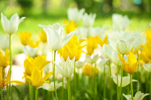 Tuinposter Tulp Blossoming tulips outdoors on sunny spring day