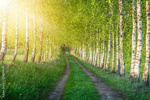 Foto op Canvas Pistache Birch forest
