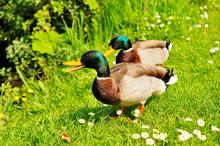 Quacking Duck