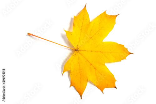 maple leaf bright on white background