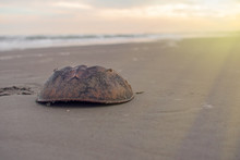 Horseshoe Crab On A Beach At S...