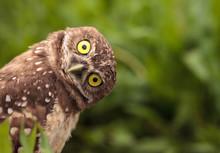 Funny Burrowing Owl Athene Cun...