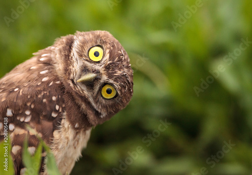 Photo  Funny Burrowing owl Athene cunicularia tilts its head outside its burrow