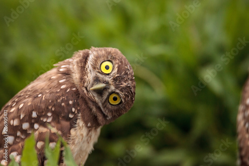 Deurstickers Uil Funny Burrowing owl Athene cunicularia tilts its head outside its burrow