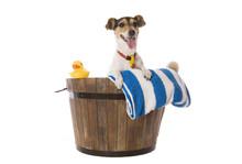A Fox Terrier Waiting For Bath...