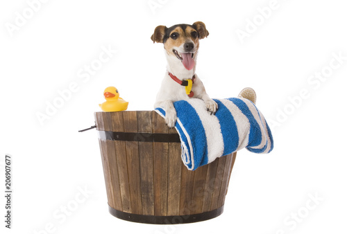 Carta da parati A fox Terrier waiting for bath time with towel and rubber duck.