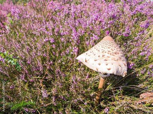 Fotografie, Obraz  Young parasol mushroom, Macrolepiota procera, and purple heath in August, Nether