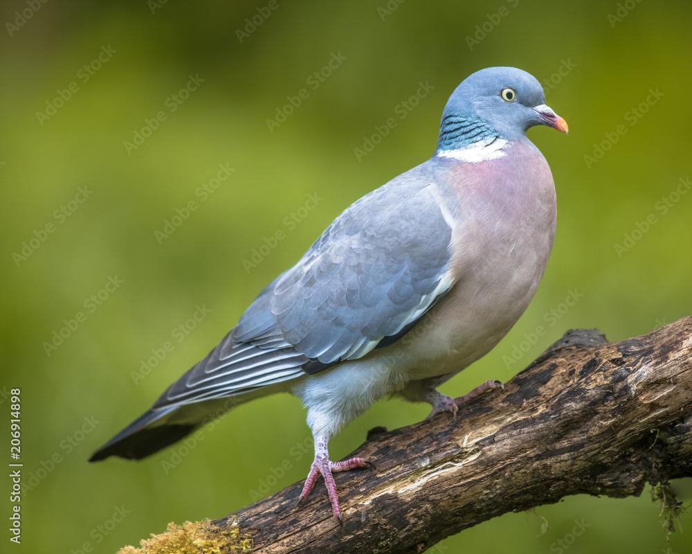 Wood pigeon walking on branch