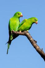 Green Parakeet And Blue Sky. W...