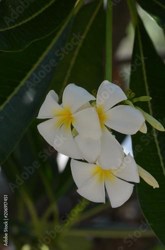 Papiers peints Narcisse white flower
