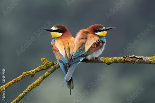 Montage in der Fensternische Vogel Two beautiful European bee-eaters (Merops apiaster)