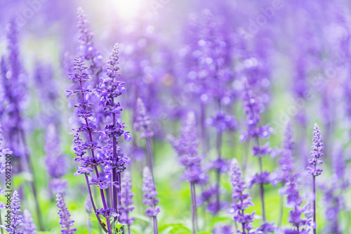 Photo  beautiful Lavender flower in garden