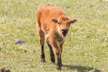 Muddy Bison Calf
