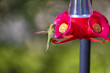 Beautiful Hummingbird at a Feeder